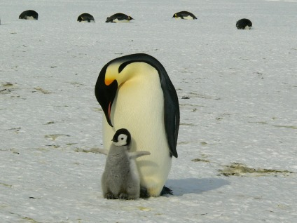 penguins-parenting